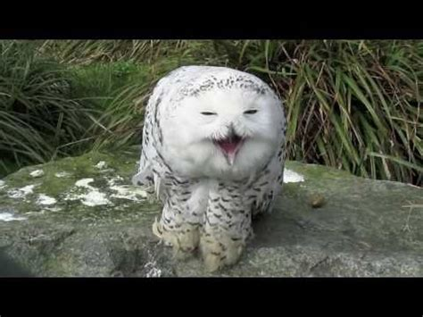 snowy owl dublin zoo youtube