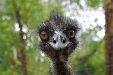 awesome animals blog hehe funny baby emu