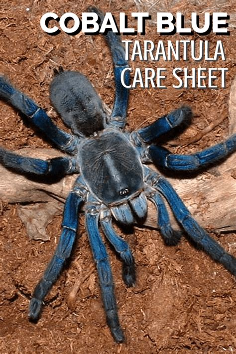 spiderling curly hair spiderlings tarantula care sheet spiderling curly hair spiderlings tarantula care sheet