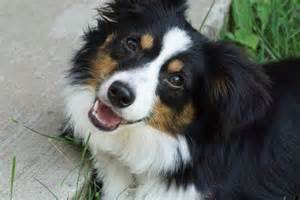 Tricolor australian shepherd related keywords amp suggestions tricolor