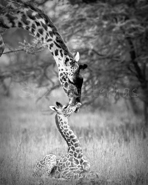 Afika Syari Black baby giraffe and black and white photo print safari baby animals