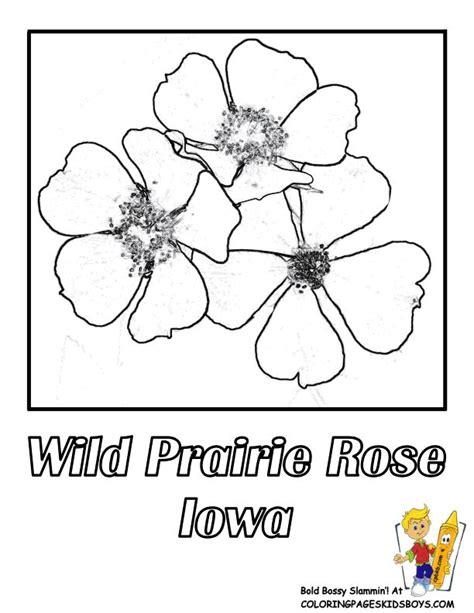 state flower of iowa iowa state flower coloring page wild prairie rose usa