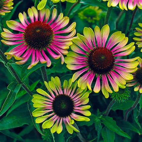 echinacea green twister yougarden
