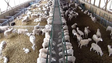 wireless cameras installed  sheep barn wireless