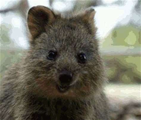 Quokka GIF - Find & Share on GIPHY