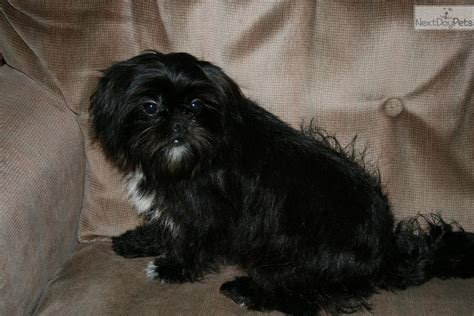 affenpinscher puppies for sale affenpinscher puppy for sale near springfield missouri da70c6cd 9a41