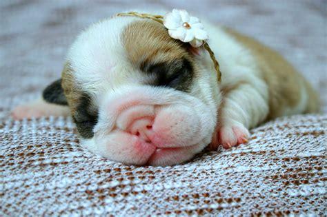 new born puppy newborn bulldog www pixshark images galleries with a bite