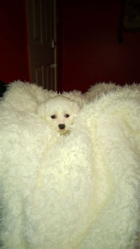 maltese puppies colorado maltese breed information maltese maltese puppies design bild