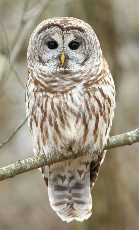 best 25 barred owl ideas on pinterest owls eagle