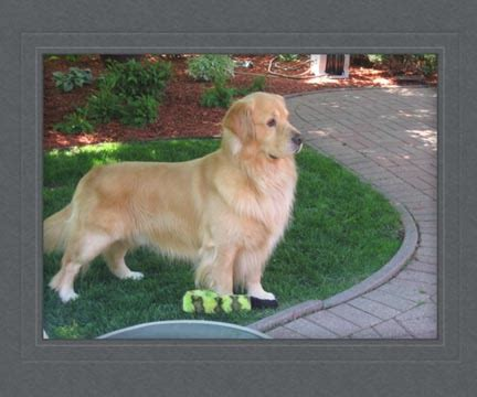 golden retriever breeders in michigan akc golden retriever akc breeders michigan dogs in our photo