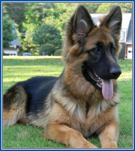king german shepherd best 25 king german shepherd ideas on german shepherd puppies puppy