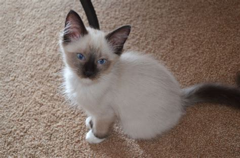 3 year ragdoll cats ragdoll kittens seal point mitted 12 weeks epsom