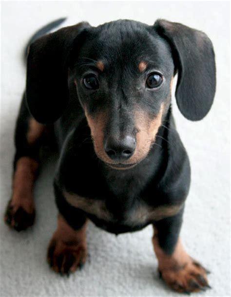 black dachshund puppies freddy the dachshund puppies daily puppy