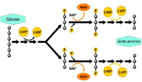 o que creatine phosphate a glic 243 lise na respira 231 227 o celular confira