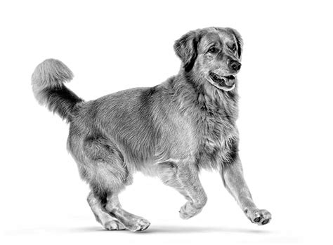 how much exercise golden retriever how much exercise does a golden retriever need royal canin 174
