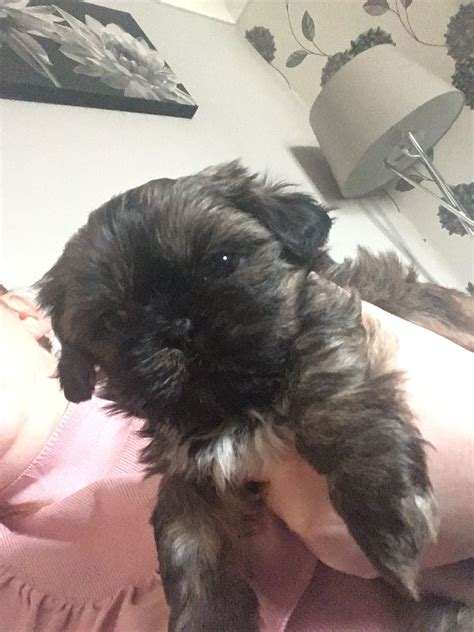 shih tzu puppies manchester shih tzu puppies manchester greater manchester pets4homes