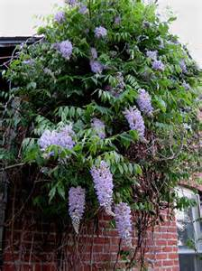 Zone Gardening Calendar - photo of the entire plant of american wisteria wisteria frutescens aunt dee posted by larryr
