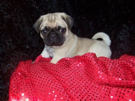pugs for adoption in dallas tx akc pug chion bloodlines for sale adoption from greenville dallas