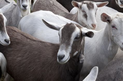 benefits  raising goats   small farm