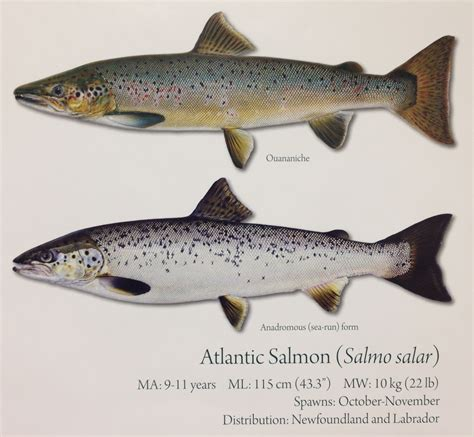 what is the difference beween salmon and sea trout the fish red indian lake fish derby