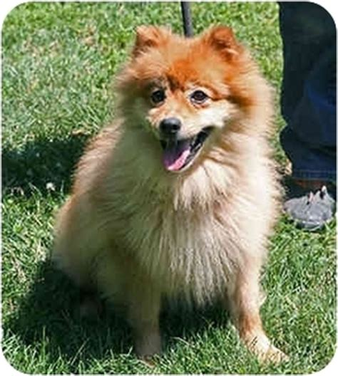 spitz and pomeranian mix lucky spitz adopted princeton nj spitz pomeranian mix