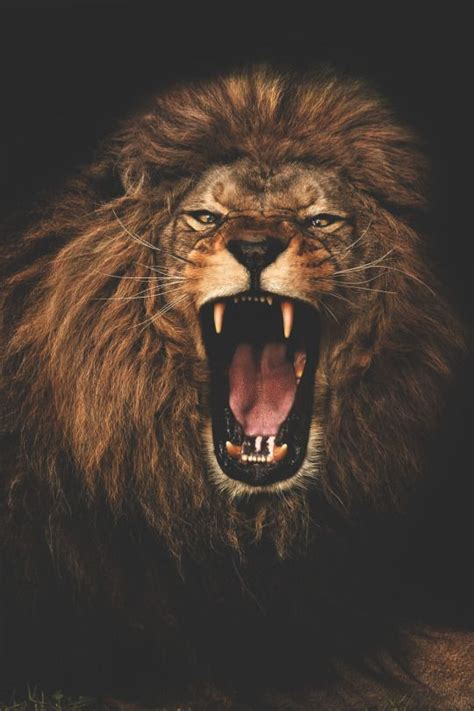 lion wallpaper pinterest 25 best ideas about roaring lion on pinterest lions