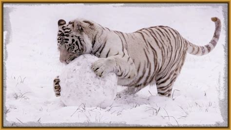 imagenes en blanco para fondo de pantalla fondo de pantalla tigre blanco hd archivos imagenes de