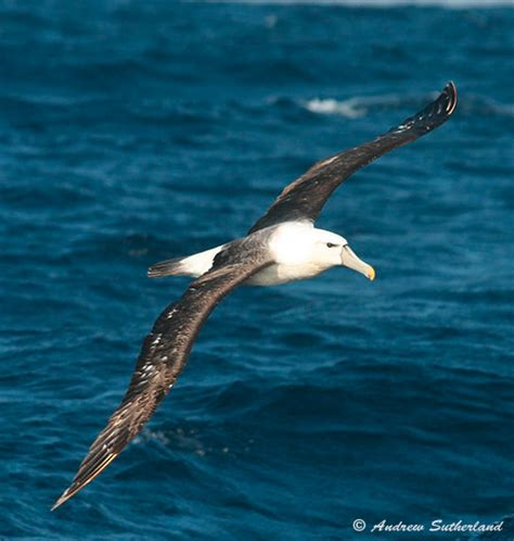 pelagic bird species recorded off richards bay kwazulu natal