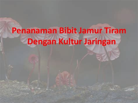 Bibit Jamur Tiram Volva laporan praktikum budidaya jamur tiram