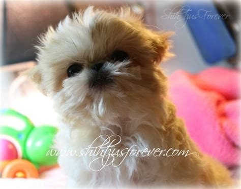 imperial shih tzu puppies for sale in florida best 25 shih tzu for sale ideas on puppies for sale teacup dogs for