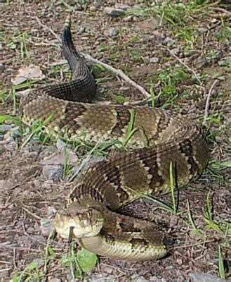 pa bite fatal rattlesnake bite is in pa in 25 years times leader