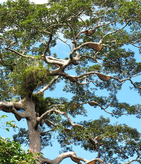 Madu Asli Kalbar hutan jadi sawit orangutan panen tikung petani madu kapuas hulu mongabay co id