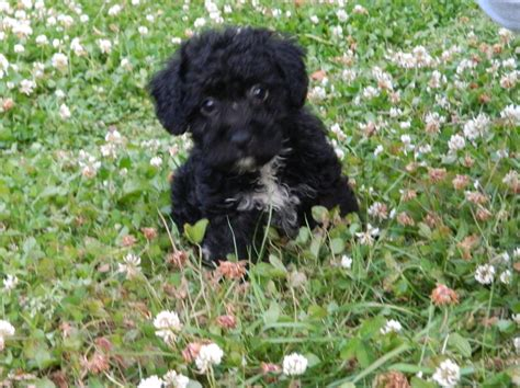 jackapoo puppies puppies pictures and information breeds picture