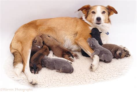phantom pregnancy in dogs dogs border collie with phantom pregnancy photo wp05997