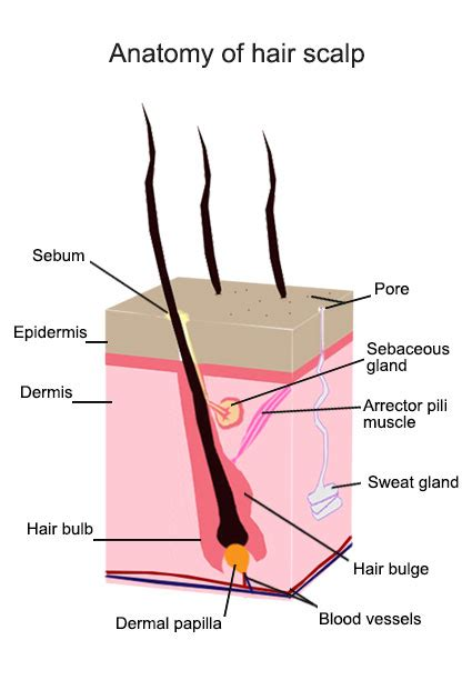 hair diagram anatomy hair follicle model pictures to pin on pinsdaddy