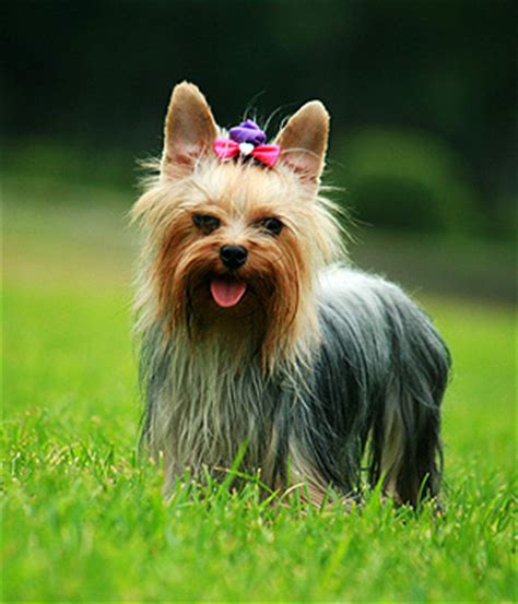 what is the average lifespan of a yorkie save a rescue