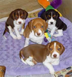 beagle colors puppy photos view size more http m5x eu beagle