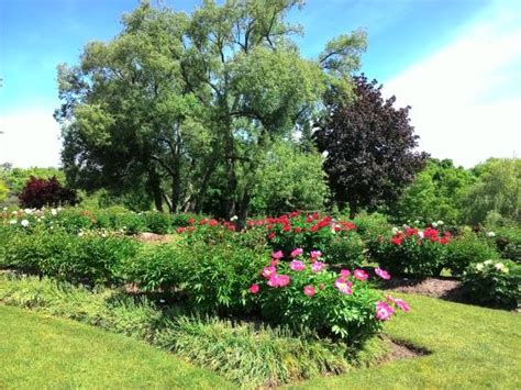 Oshawa Botanical Gardens Peony Blossom In The Gardens Picture Of Oshawa Valley Botanical Gardens Oshawa Tripadvisor