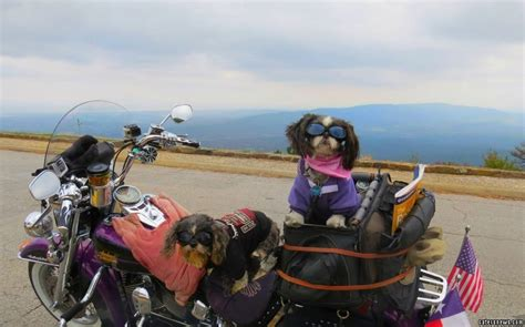 shih tzu goggles these two harley davidson shih tzus are dogs