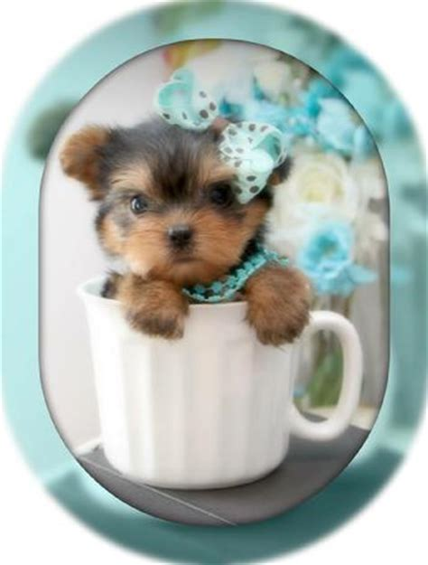 kissy teacup yorkies teacup yorkie teacup yorkies yorkies for sale micro teacup puppies yorkiebabies