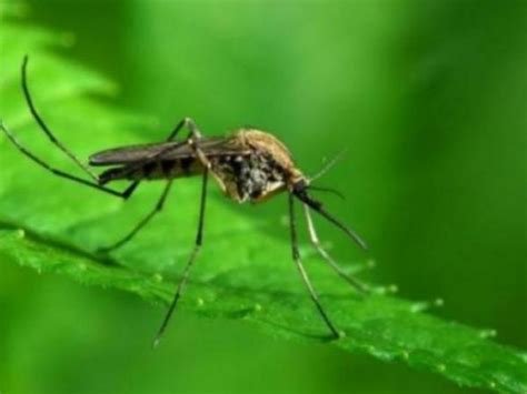 cape cod mosquito west nile virus found on cape cod time this summer