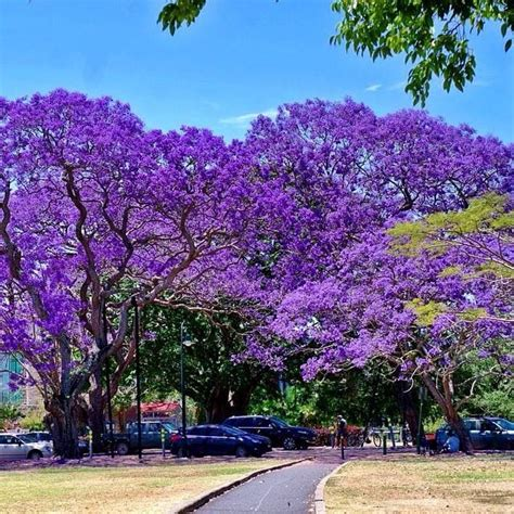 jacaranda trees in bloom new farm park brisbane