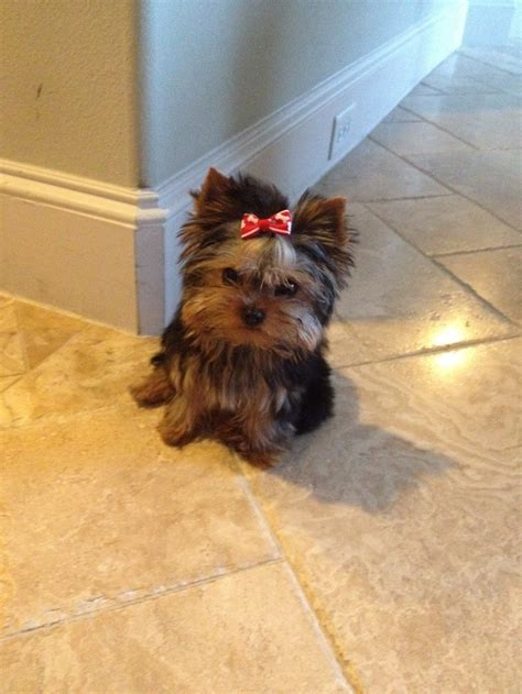 yorki one 18 best images about pets i need on teacup pigs yorkie and teacup pomeranian