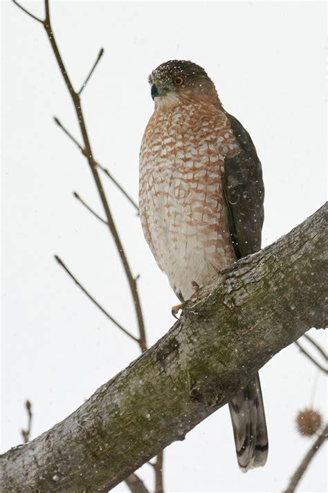 birds of new york coopers hawk