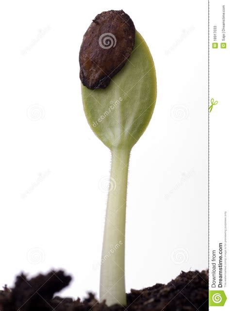 Watermelon Seed Sprouting stock image. Image of life ... W Is For Watermelon