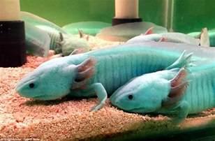 axolotl colors axolotl salamanders nearing extinction become new