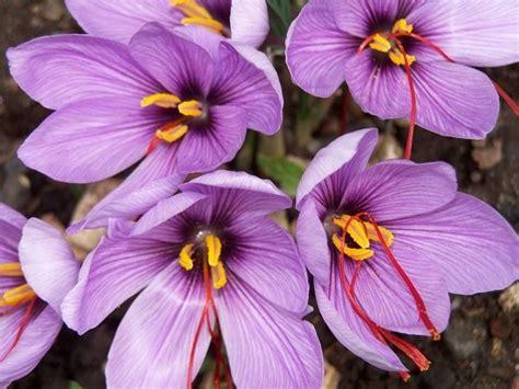 fiore dello zafferano fiore dello zafferano aromatiche caratteristiche