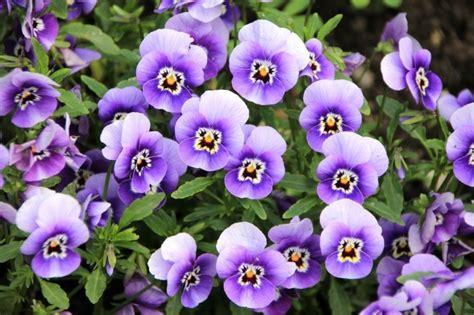 State Flower Of New Jersey Como Cuidar De Violetas Guia Especial Viu S 243