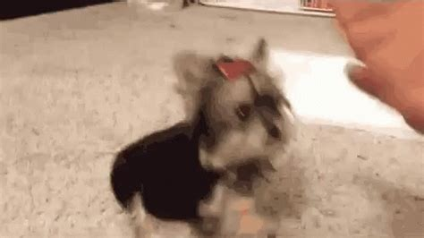 yorkie gif high five yorkie gif highfive yorkie discover