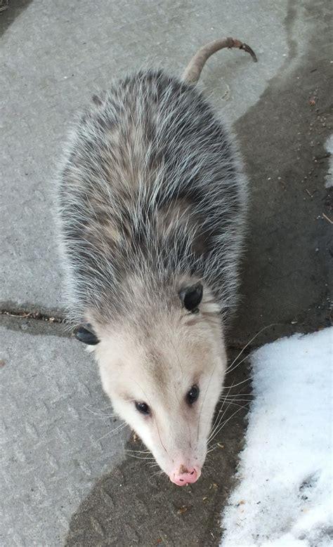possum in backyard an opossum visits my toronto backyard